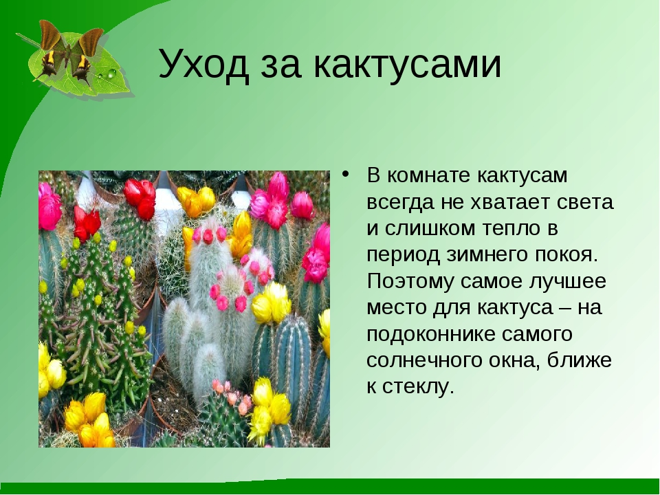 Уход за кактусами В комнате кактусам всегда не хватает света и слишком тепло...