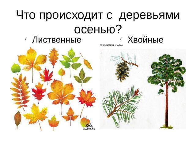 Что происходит с деревьями осенью? Лиственные Хвойные