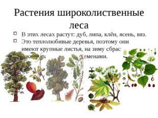 Растения широколиственные леса В этих лесах растут: дуб, липа, клён, ясень, в