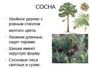 СОСНА Хвойное дерево с ровным стволом желтого цвета. Хвоинки длинные, сидят п