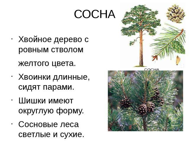СОСНА Хвойное дерево с ровным стволом желтого цвета. Хвоинки длинные, сидят п...