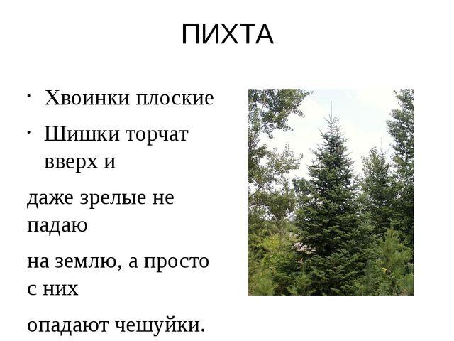 ПИХТА Хвоинки плоские Шишки торчат вверх и даже зрелые не падаю на землю, а п...