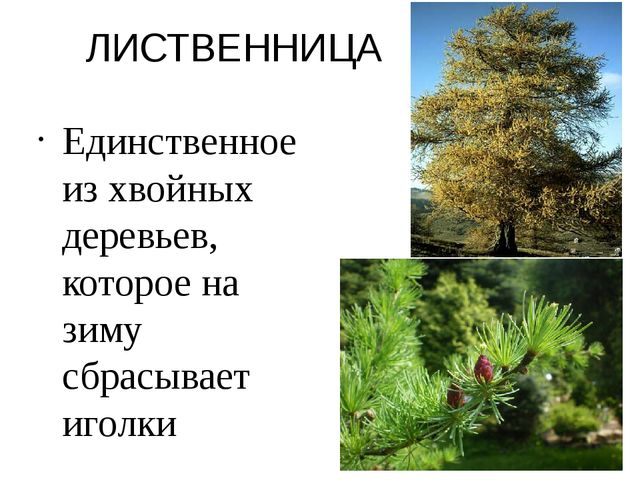 ЛИСТВЕННИЦА Единственное из хвойных деревьев, которое на зиму сбрасывает иголки