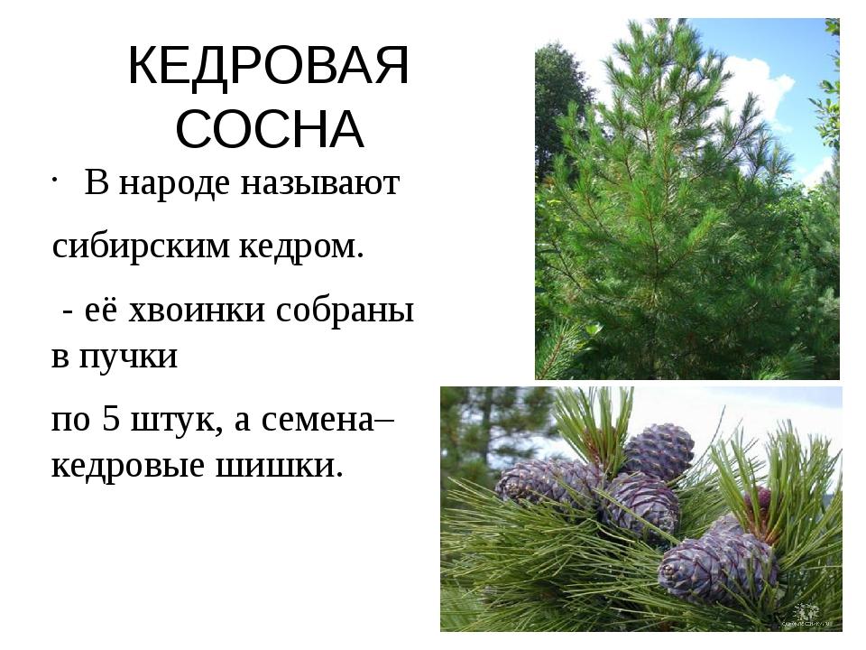 КЕДРОВАЯ СОСНА В народе называют сибирским кедром. - её хвоинки собраны в пуч...
