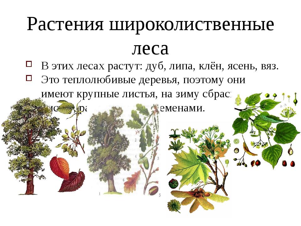 Растения широколиственные леса В этих лесах растут: дуб, липа, клён, ясень, в...