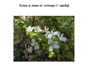 Алма ағашы көктемде гүлдейді