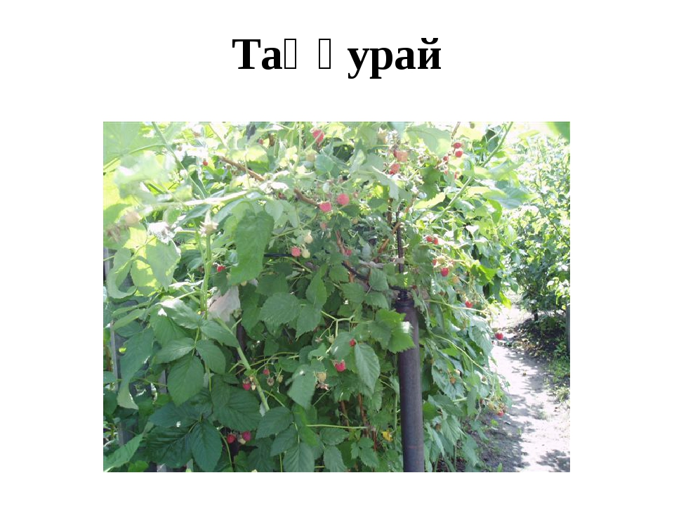 Таңқурай