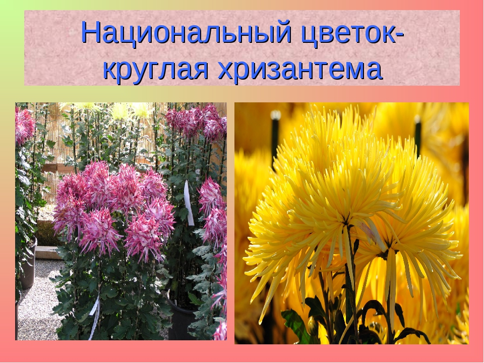 Национальный цветок- круглая хризантема