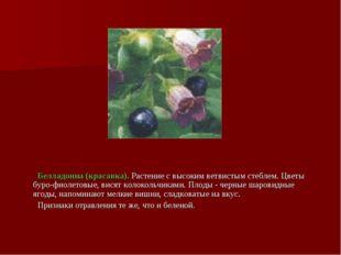 Белладонна (красавка). Растение с высоким ветвистым стеблем. Цветы буро-фиол