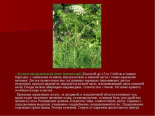 Болиголов крапчатый (омег пятнистый). Высотой до 1,5 м. Стебель в тонких бор