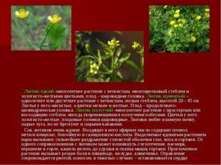 Лютик едкий -многолетнее растение с ветвистым, многоцветковый стеблем и золо