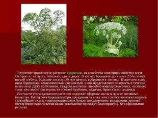 Двулетнее травянистое растение борщевик из семейства зонтичных известно всем