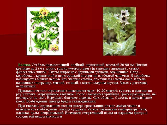 Белена. Стебель прямостоящий, клейкий, опушенный, высотой 30-90 см. Цветки к...