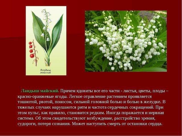 Ландыш майский. Причем ядовиты все его части - листья, цветы, плоды – красно...