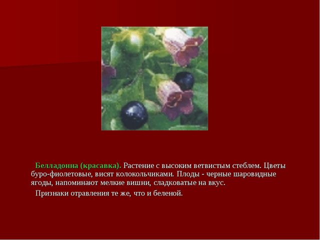 Белладонна (красавка). Растение с высоким ветвистым стеблем. Цветы буро-фиол...