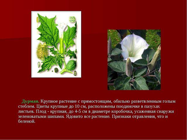 Дурман. Крупное растение с прямостоящим, обильно разветвленным голым стеблем...