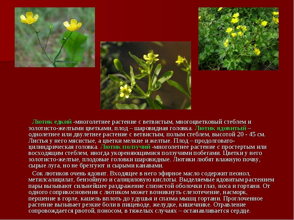 Лютик едкий -многолетнее растение с ветвистым, многоцветковый стеблем и золо...