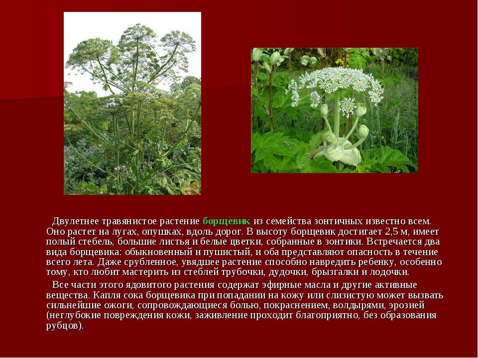 Двулетнее травянистое растение борщевик из семейства зонтичных известно всем...