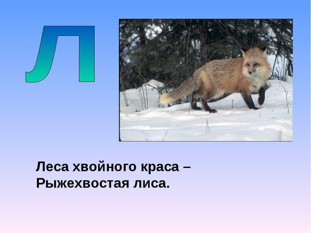 Леса хвойного краса – Рыжехвостая лиса.