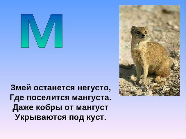 Змей останется негусто, Где поселится мангуста. Даже кобры от мангуст Укрываю...