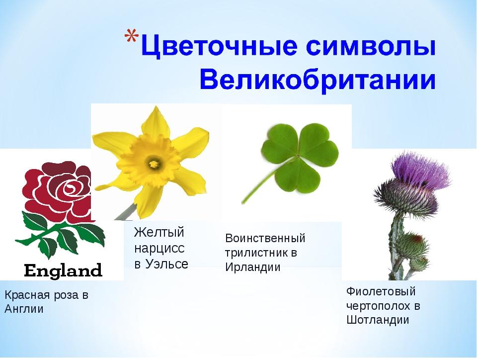 Красная роза в Англии Желтый нарцисс в Уэльсе Воинственный трилистник в Ирла...