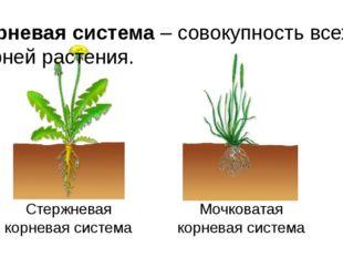 Корневая система – совокупность всех корней растения. Стержневая корневая сис