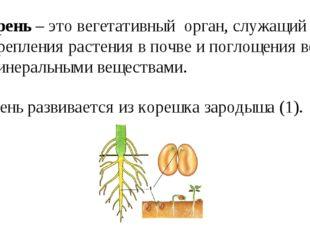 Корень – это вегетативный орган, служащий для закрепления растения в почве и