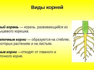 Главный корень — корень, развивающийся из зародышевого корешка. Придаточные