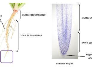 кончик корня зона всасывания зона деления зона роста корневые волоски зона пр