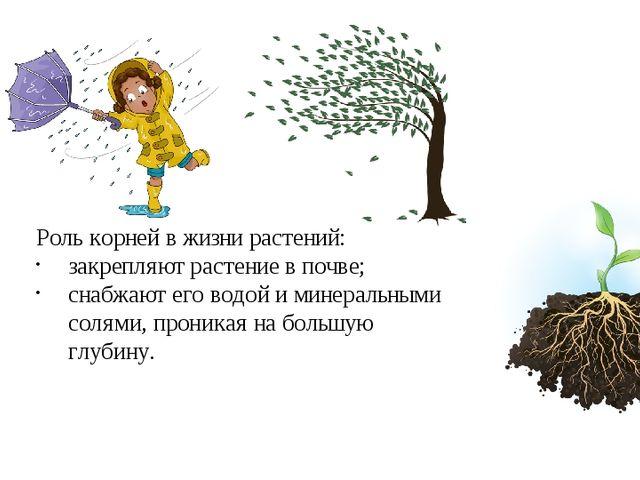 Роль корней в жизни растений: закрепляют растение в почве; снабжают его водой...