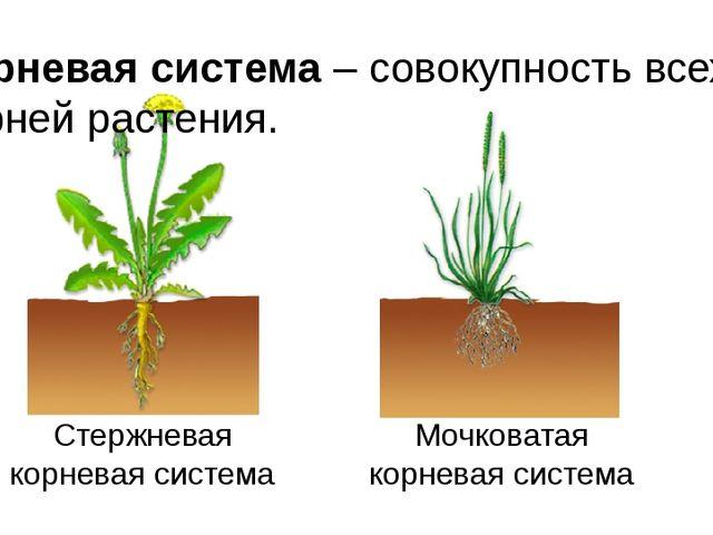 Корневая система – совокупность всех корней растения. Стержневая корневая сис...