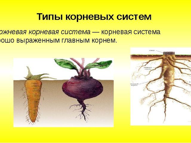 Стержневая корневая система — корневая система с хорошо выраженным главным к...