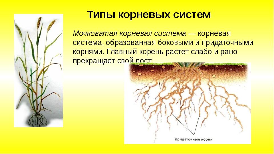 Мочковатая корневая система — корневая система, образованная боковыми и прида...