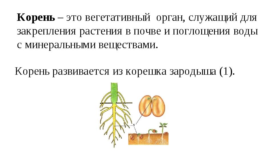 Корень – это вегетативный орган, служащий для закрепления растения в почве и...