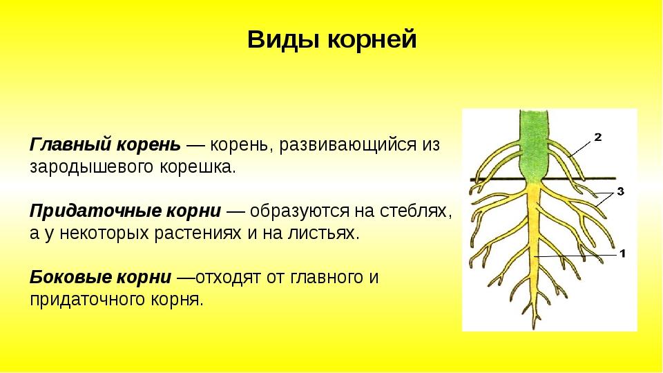 Главный корень — корень, развивающийся из зародышевого корешка. Придаточные...