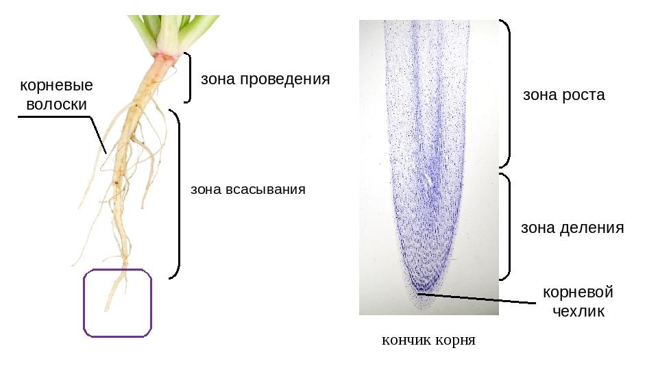 кончик корня зона всасывания зона деления зона роста корневые волоски зона пр...