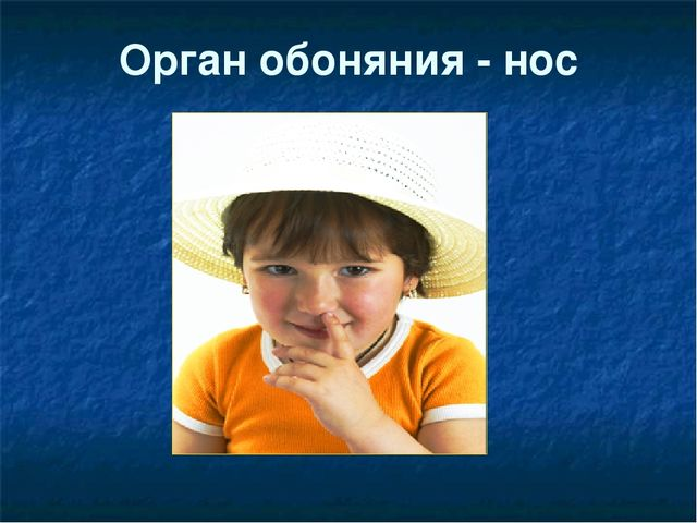Орган обоняния - нос