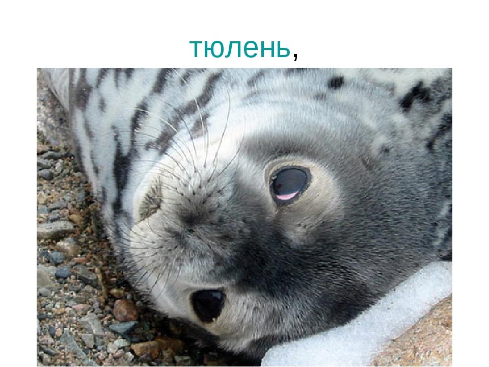 тюлень,