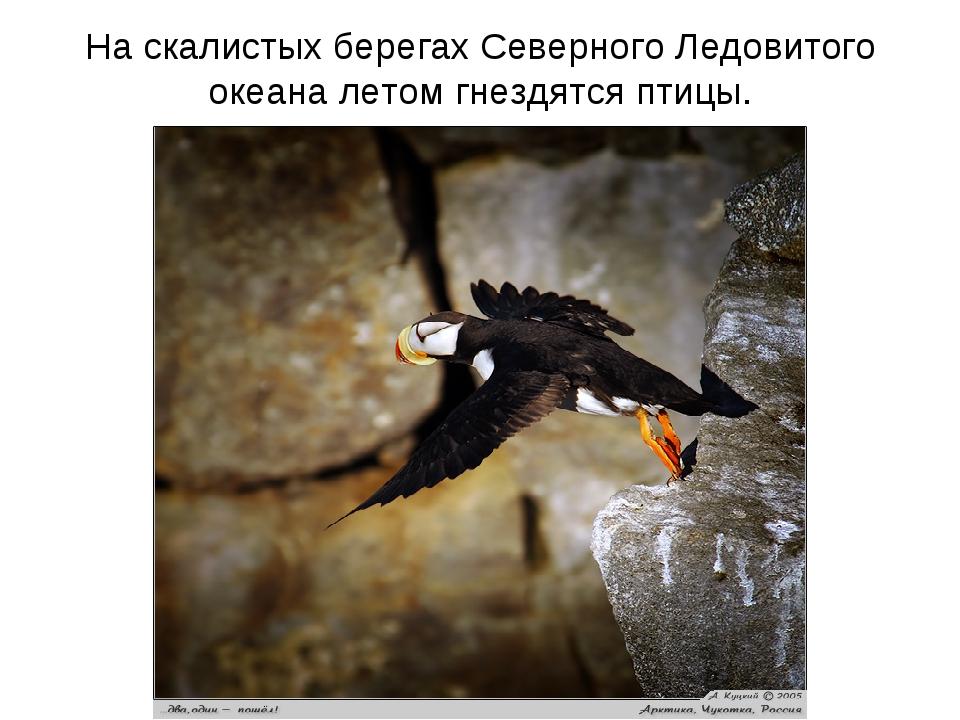 На скалистых берегах Северного Ледовитого океана летом гнездятся птицы.