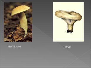 Белый гриб Груздь