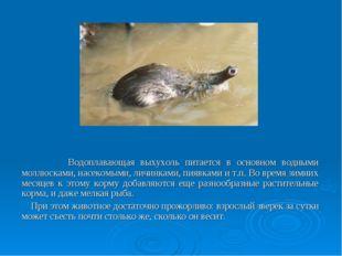 Водоплавающая выхухоль питается в основном водными моллюсками, насекомыми, л