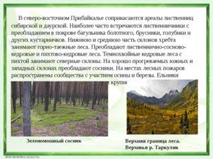 В северо-восточном Прибайкалье соприкасаются ареалы лиственниц сибирской и д