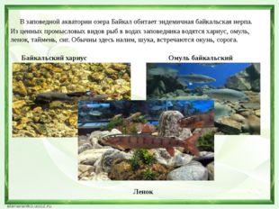 В заповедной акватории озера Байкал обитает эндемичная байкальская нерпа. Из