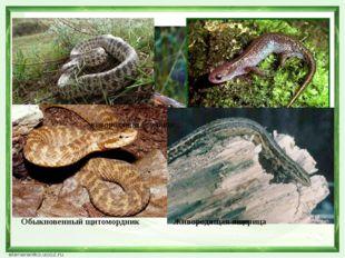 живородящая ящерица Сибирская лягушка Сибирский углозуб Узорчатый полоз Обыкн