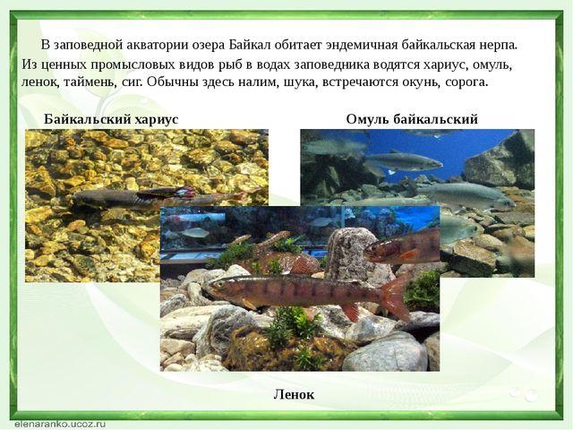В заповедной акватории озера Байкал обитает эндемичная байкальская нерпа. Из...