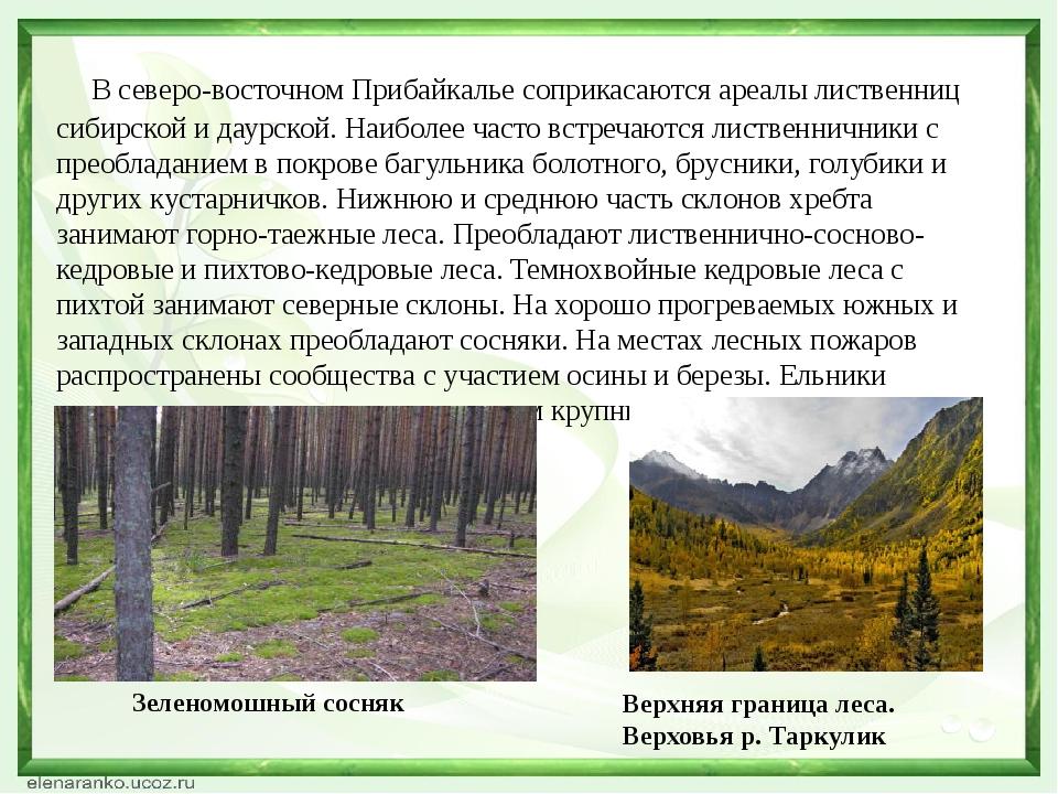 В северо-восточном Прибайкалье соприкасаются ареалы лиственниц сибирской и д...