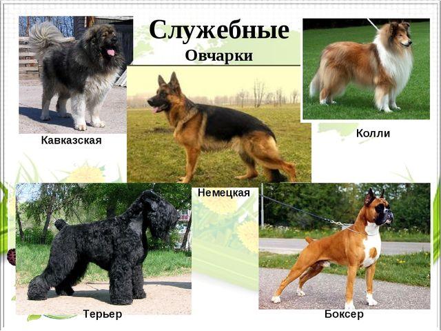 Служебные Овчарки Кавказская Колли Немецкая Терьер Боксер