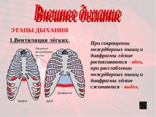 1.Вентиляция лёгких. ЭТАПЫ ДЫХАНИЯ При сокращении межрёберных мышц и диафрагм