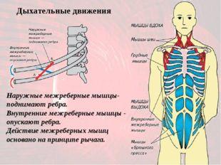 Наружные межреберные мышцы- поднимают ребра. Внутренние межреберные мышцы - о