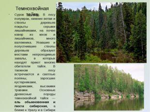 Темнохвойная тайга Суров ее вид. В лесу полумрак, нижние ветви и стволы дерев